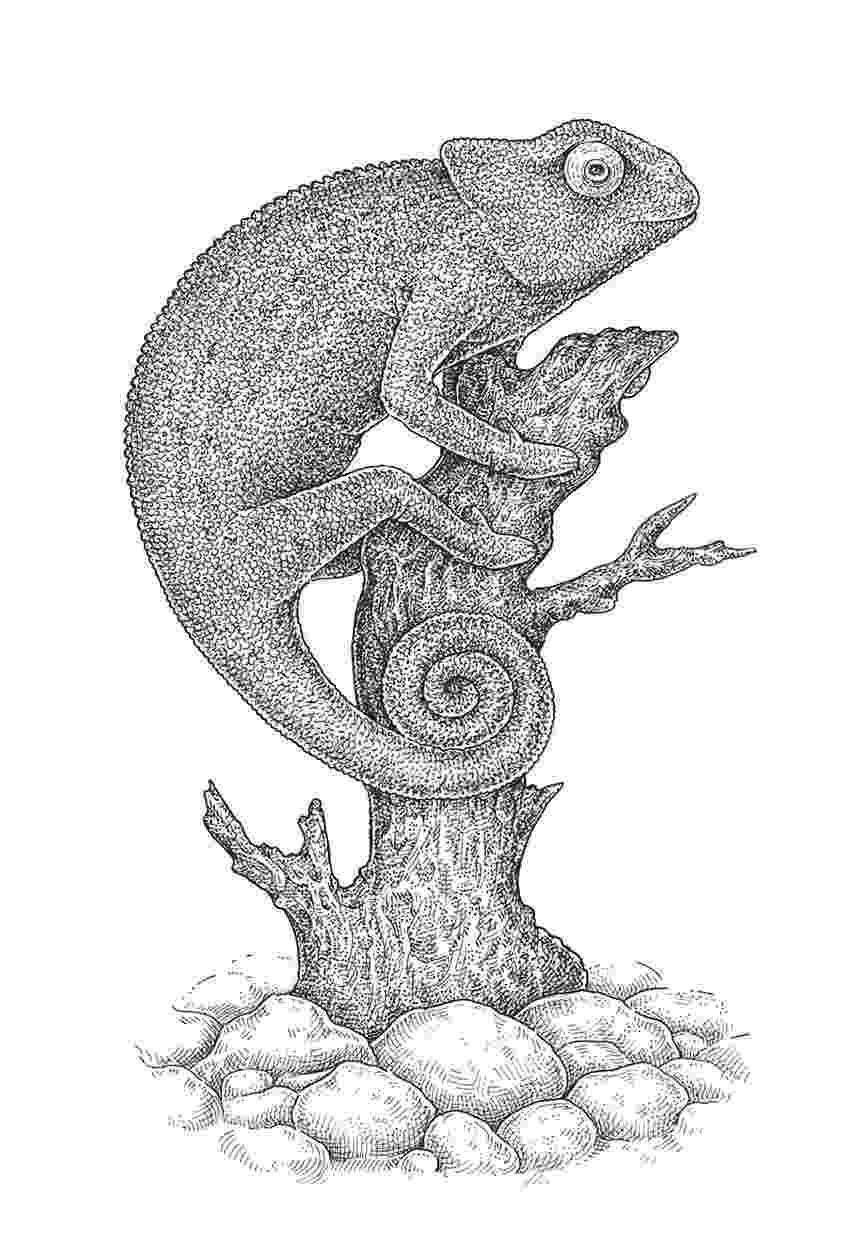 lizard sketch sketchy frilled dragon sketch lizard