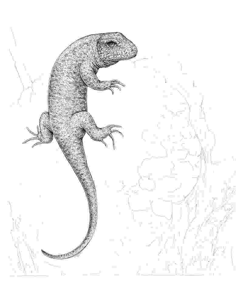 lizard sketch uma lizard pencil drawing how to sketch uma lizard using lizard sketch