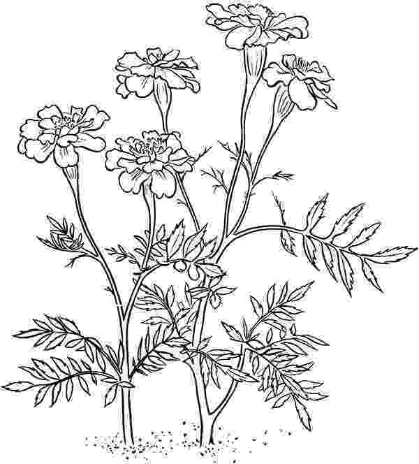 marigold coloring page marigold flower coloring page download print online coloring marigold page