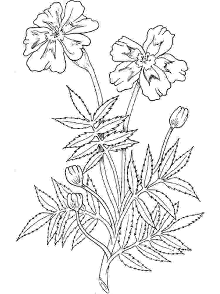 marigold coloring page marigold flower drawing at getdrawingscom free for marigold page coloring