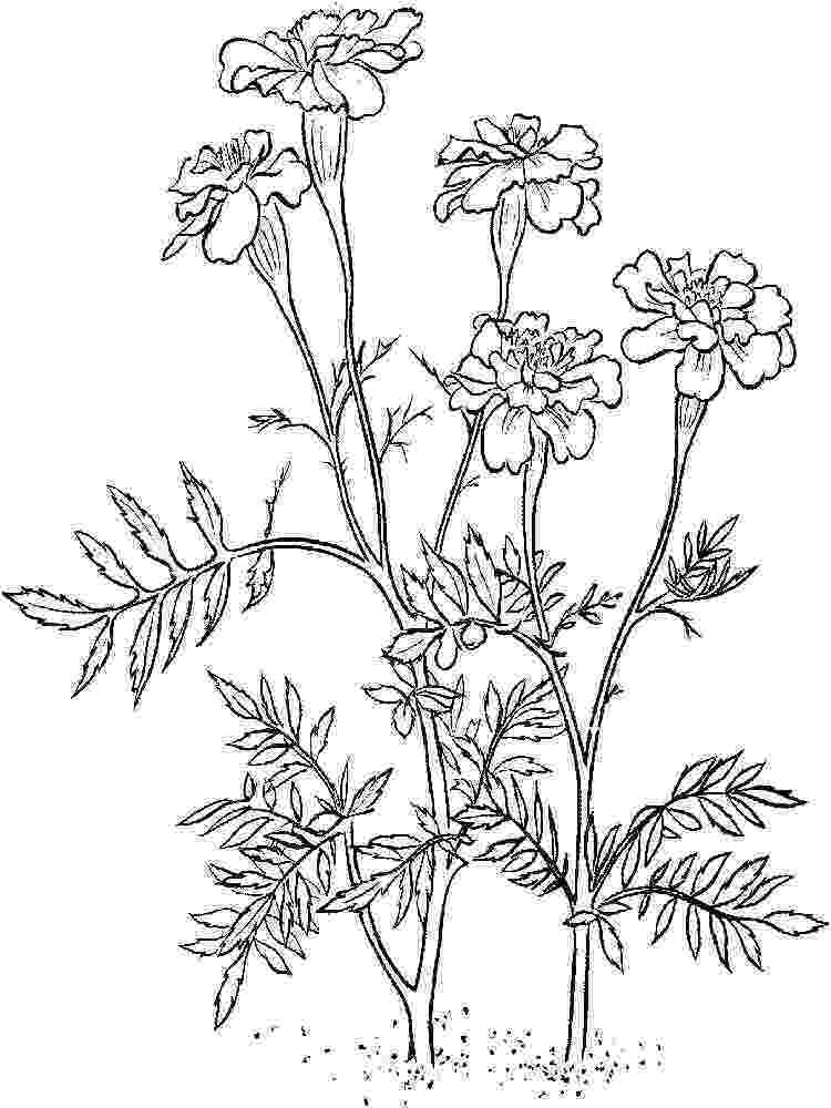 marigold coloring page marigolds coloring page free printable coloring pages coloring marigold page
