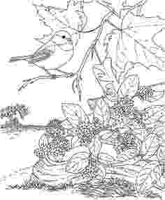 massachusetts state flower maryland state bird coloring page free printable massachusetts state flower