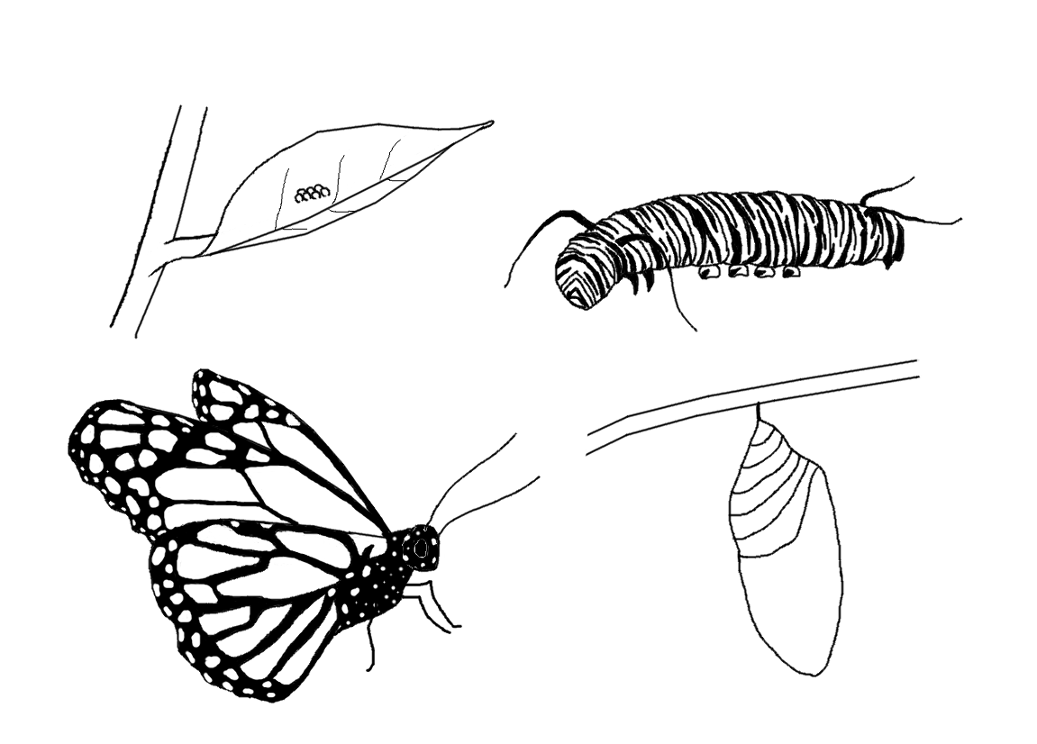 monarch butterfly life cycle coloring page here is a little monarch life cycle activity that we life coloring page monarch butterfly cycle