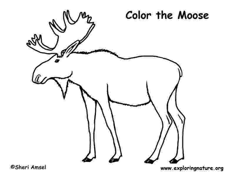 moose pictures to color moose pictures to color pictures color moose to