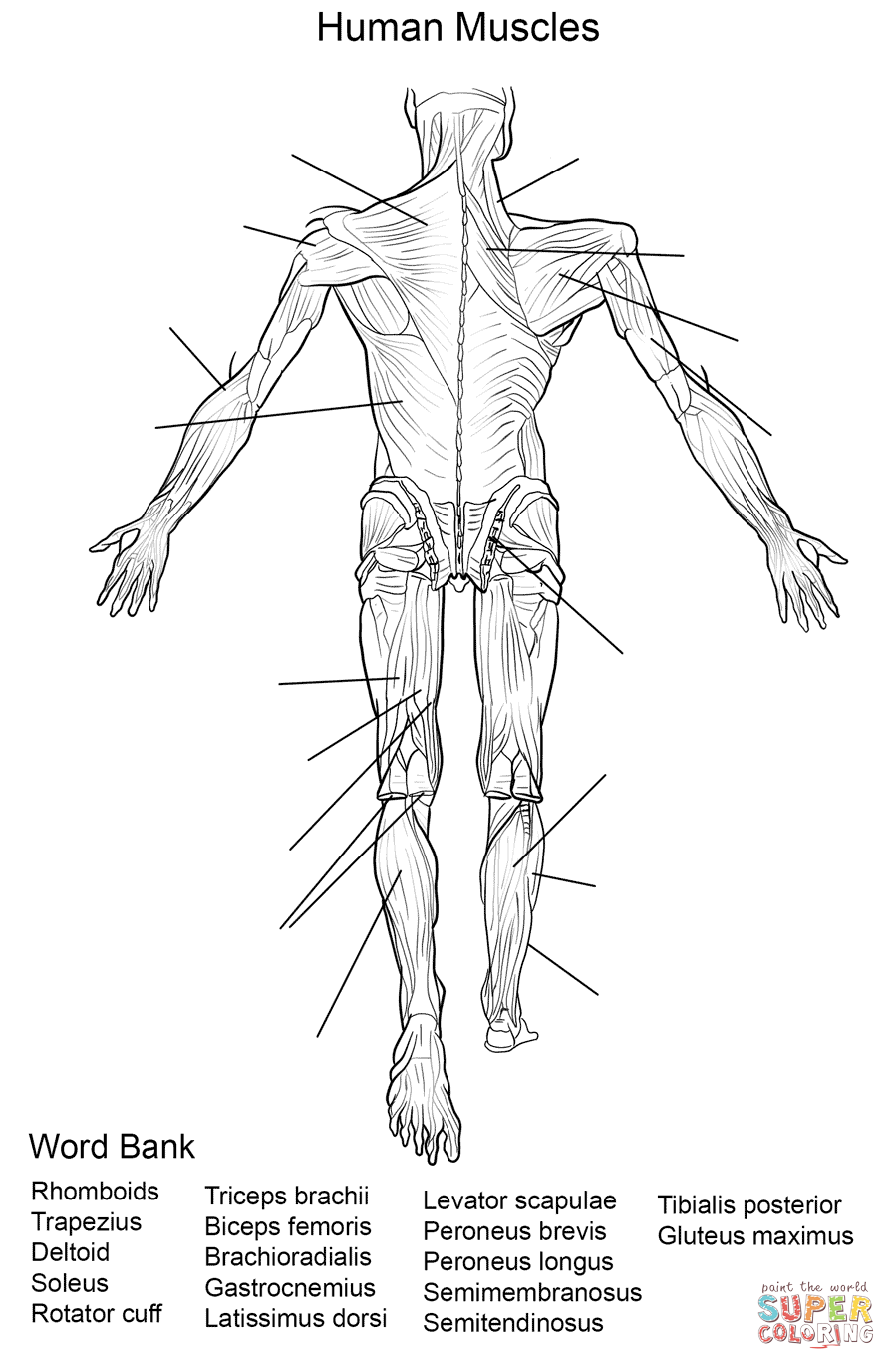 muscles worksheet for kids muscular system coloring pages coloring home muscles kids for worksheet