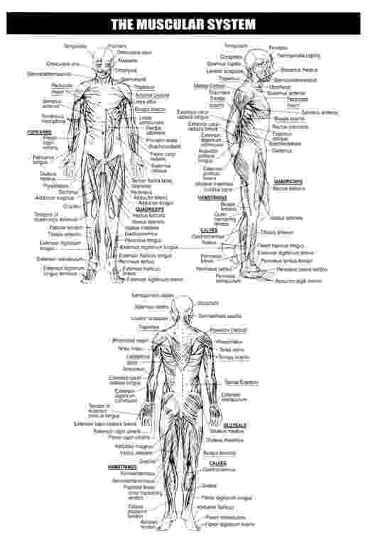 muscles worksheet for kids muscular system worksheets skeletal system muscular for worksheet kids muscles