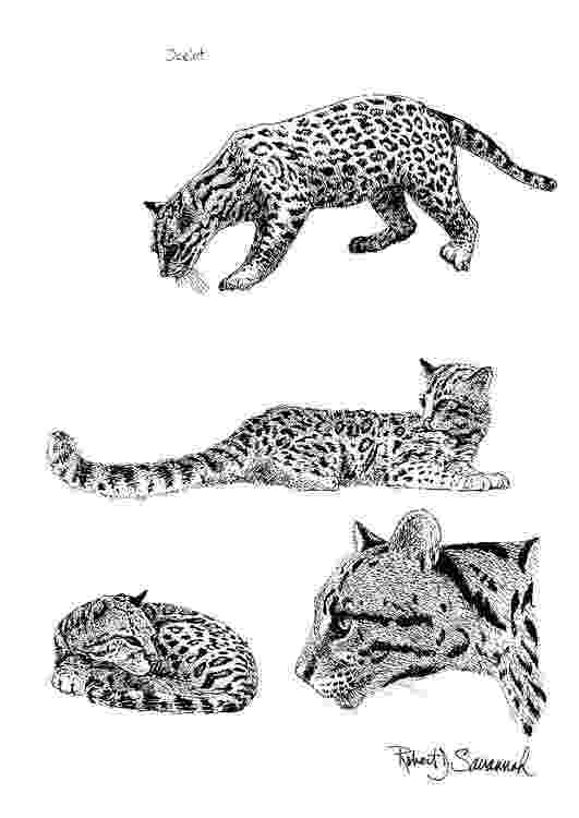ocelot color coloring page ocelot free printable coloring pages color ocelot