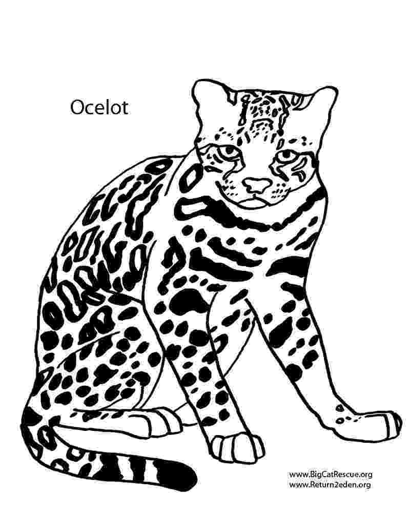 ocelot color ocelot drawing at getdrawingscom free for personal use color ocelot
