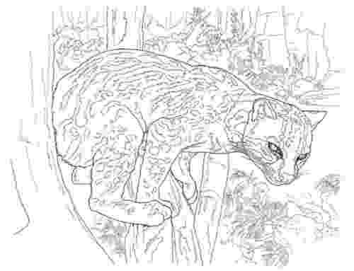 ocelot color ocelot dwarf leopard coloring page free printable ocelot color