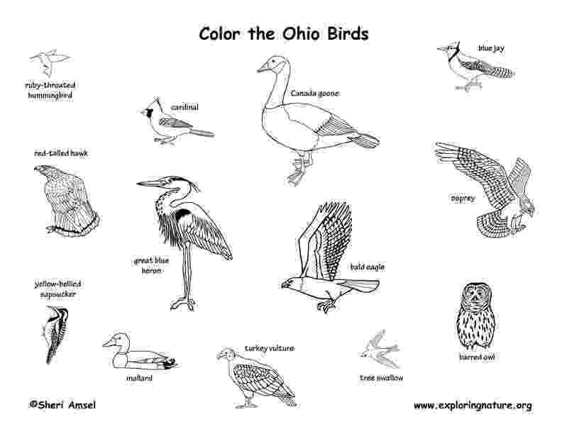 ohio state bird cardinal bird coloring page bird coloring pages bird ohio state