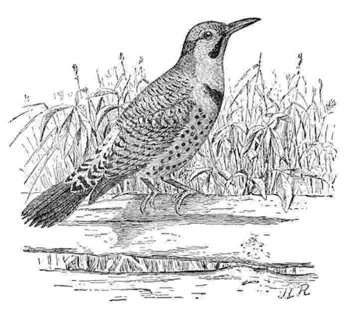 ohio state bird ohio habitats mammals birds amphibians reptiles state ohio bird