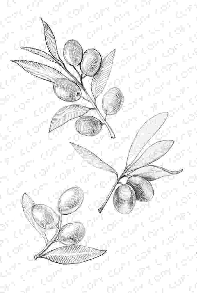 olive branch sketch coloring pages ashley cameron branch sketch olive
