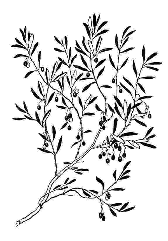 olive branch sketch hand drawn olive branch stock vector illustration of olive sketch branch