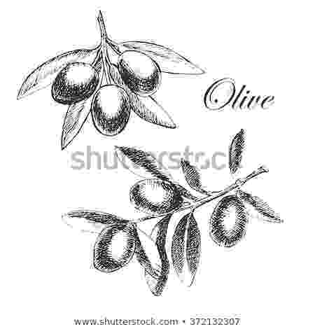 olive branch sketch hand drawn sketch olive branches vector stock vector olive branch sketch