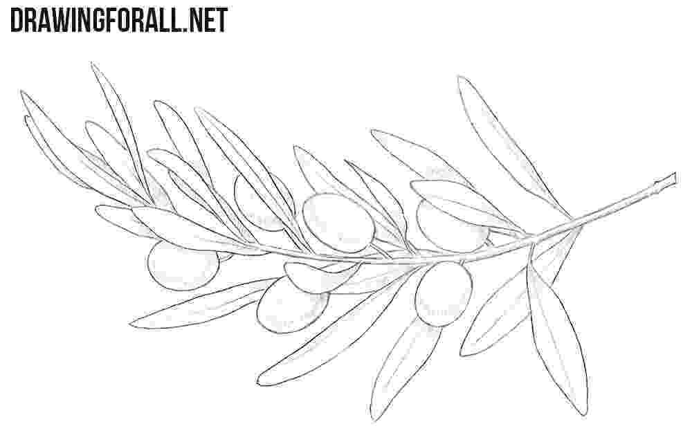 olive branch sketch how to draw olives drawingforallnet branch olive sketch