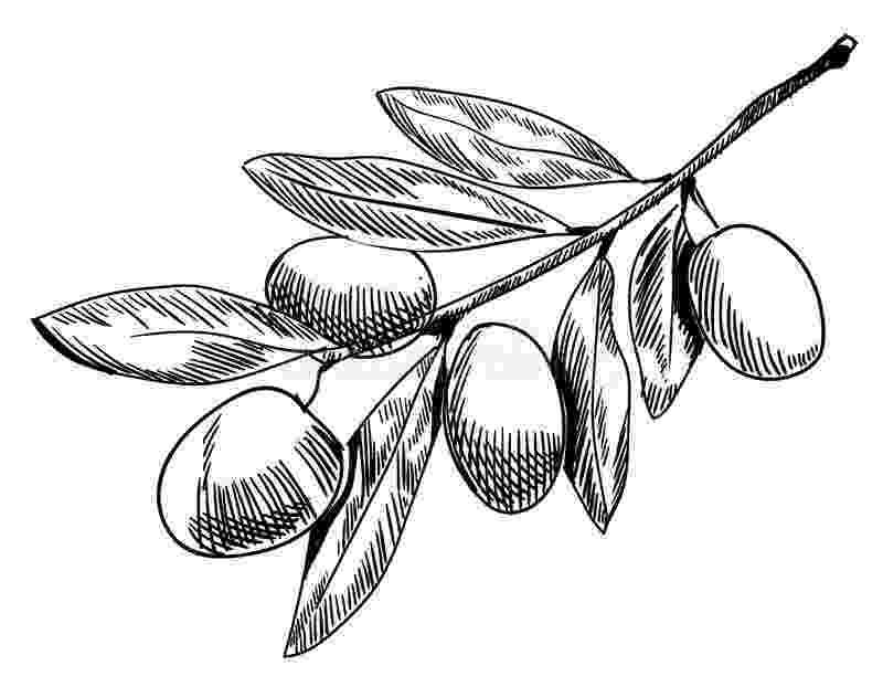 olive branch sketch olive branch sketch hand drawn olive branch contour line sketch branch olive