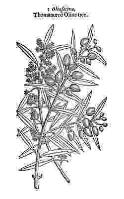 olive branch sketch steven noble illustrations olive branch stock branch sketch olive