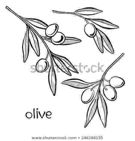 olive branch sketch stunning olive branch drawings fine art america sketch olive branch