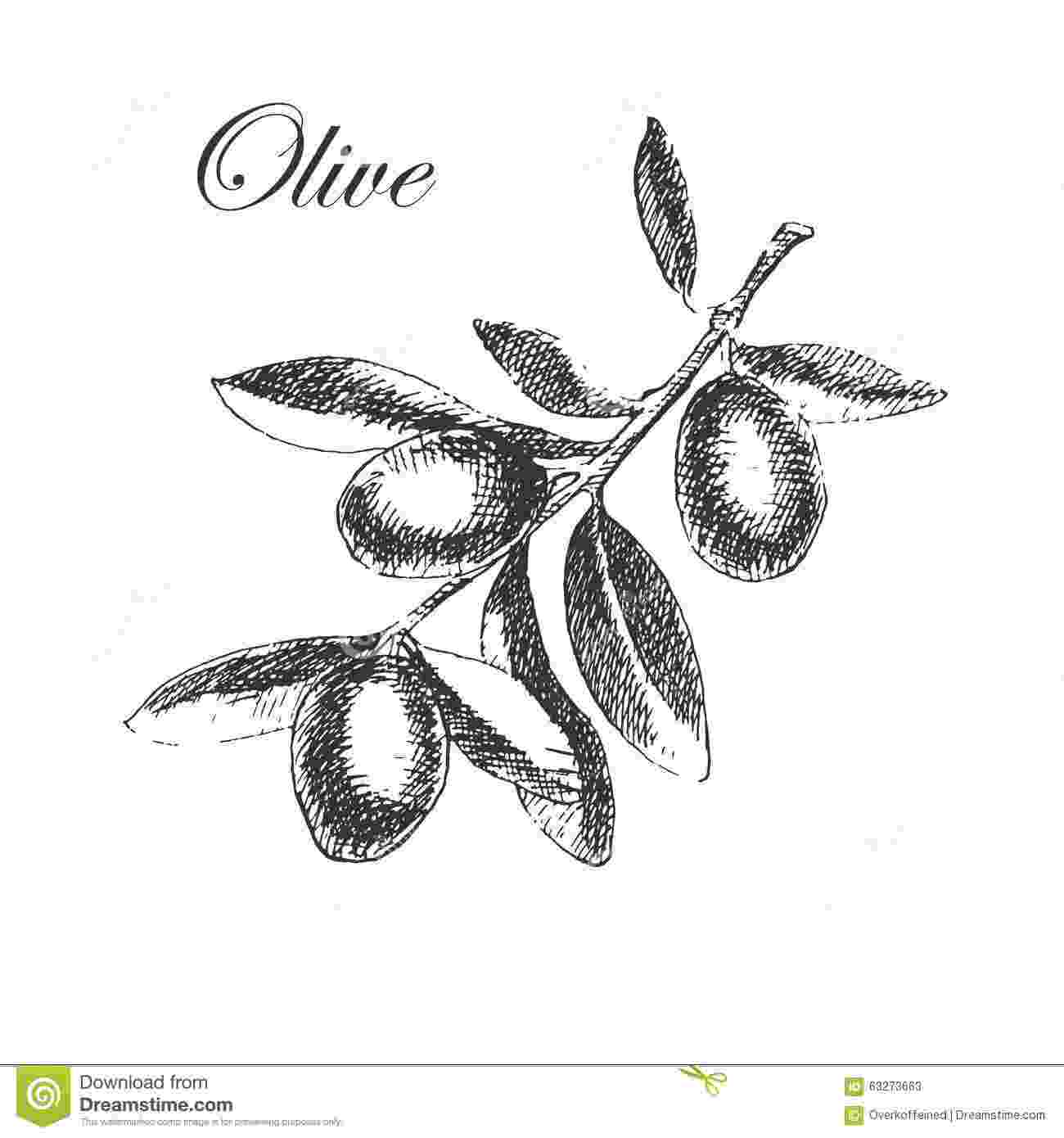 olive branch sketch vector hand drawn olive branch detailed sketch stock branch sketch olive
