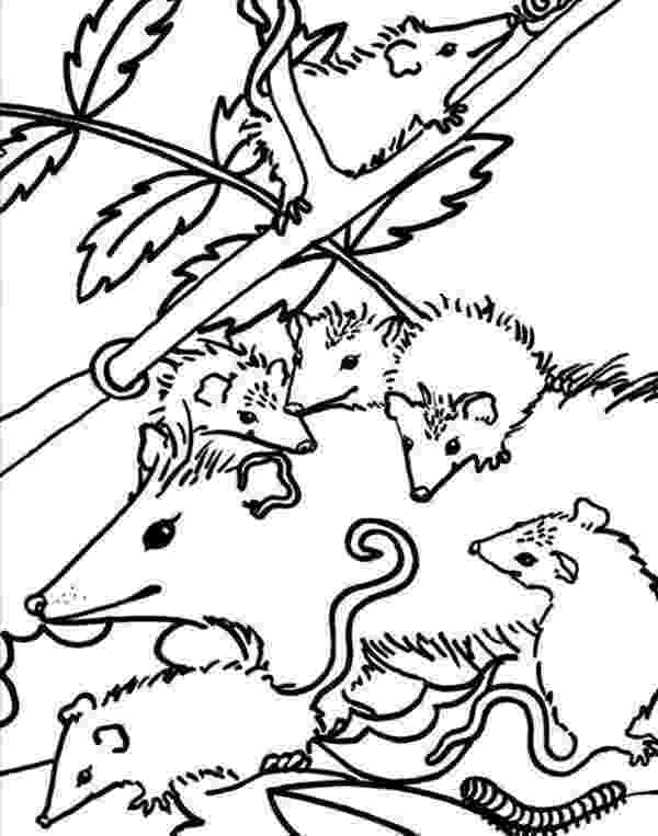 opossum coloring page possum coloring pages getcoloringpagescom opossum coloring page 1 1