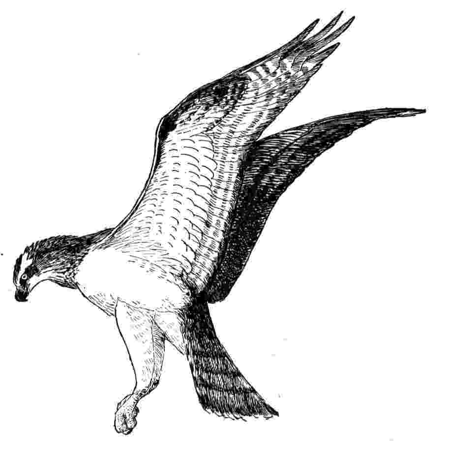 osprey coloring page free osprey coloring pages osprey page coloring