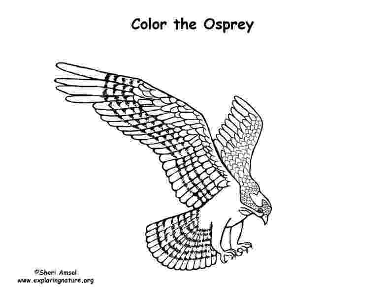 osprey coloring page free osprey coloring pages page osprey coloring