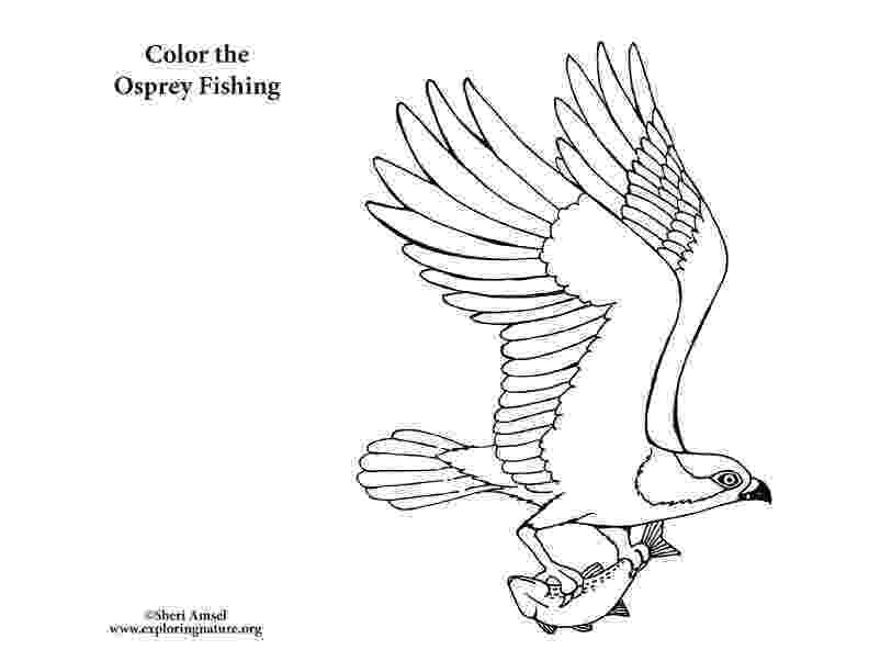 osprey coloring page osprey fishing coloring nature page coloring osprey