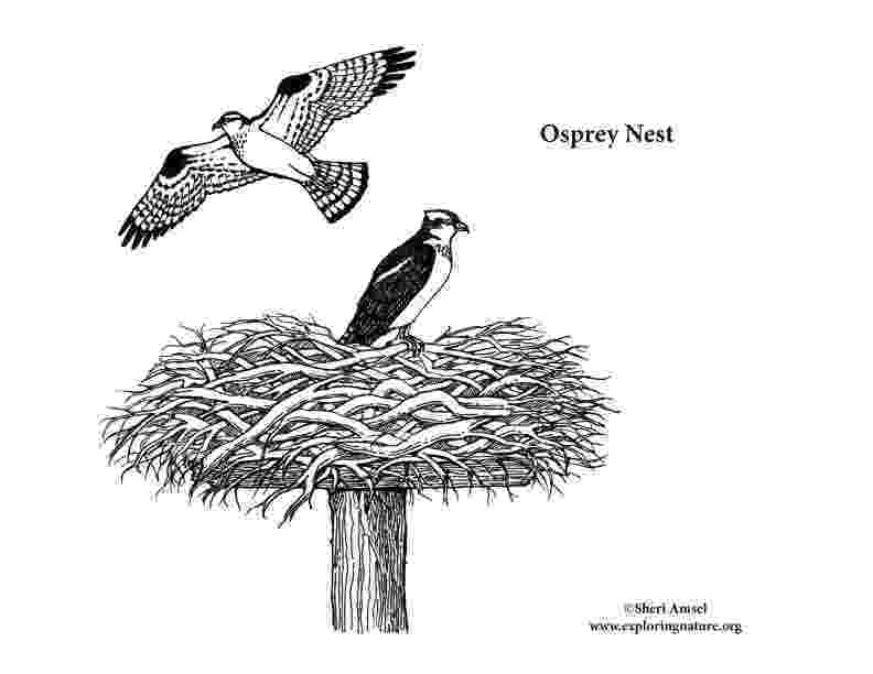 osprey coloring page osprey nest coloring page coloring page osprey