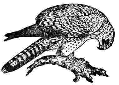 osprey coloring page osprey pictures pics images and photos for your tattoo page coloring osprey