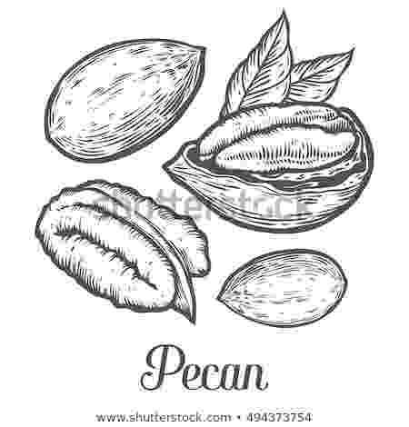 pecan tree coloring page coloring book pecan stock vector illustration of healthy coloring tree pecan page