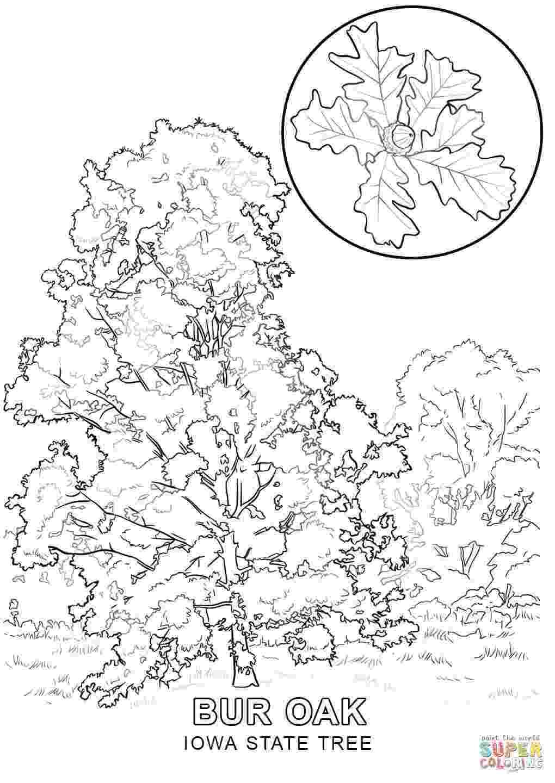 pecan tree coloring page pecan leaf coloring page coloring pages coloring tree pecan page