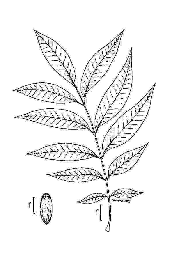 pecan tree coloring page pecan tree coloring pages coloring home pecan page tree coloring