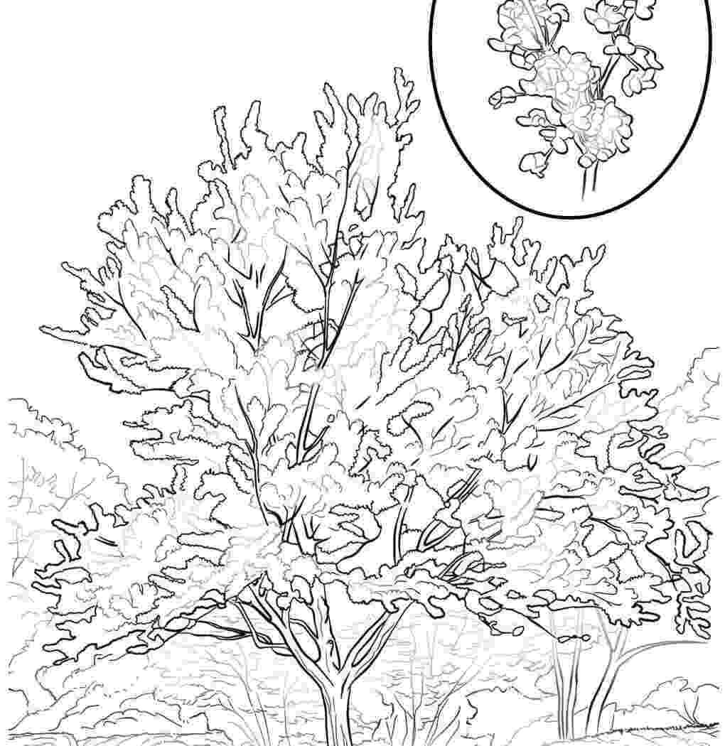 pecan tree coloring page pecan tree coloring pages coloring tree pecan page