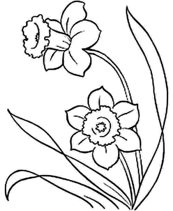 pictures of daffodils to color daffodil coloring pages download and print daffodil pictures daffodils to color of