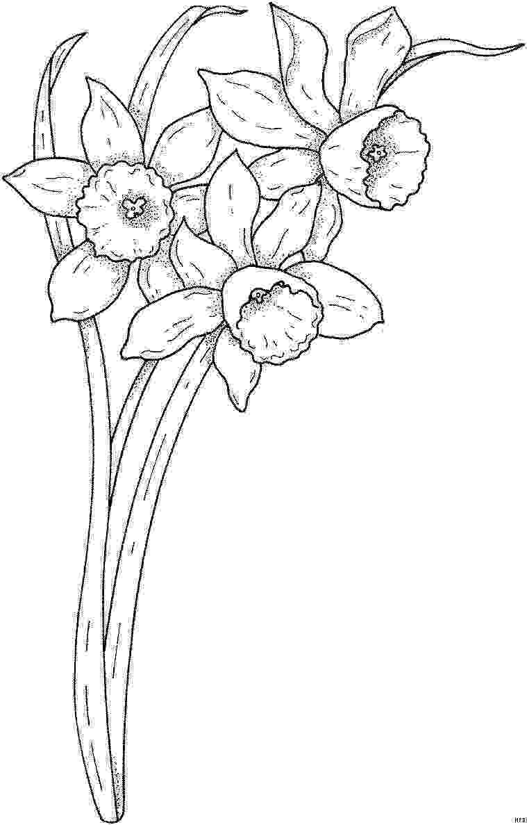 pictures of daffodils to color daffodils coloring pages to print free coloring sheets to color daffodils of pictures
