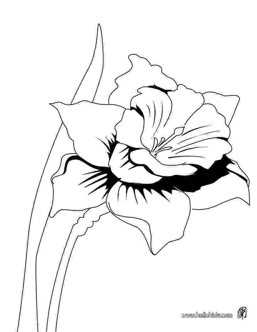 pictures of daffodils to color spring flower daffodil coloring pages printablecom to daffodils color pictures of