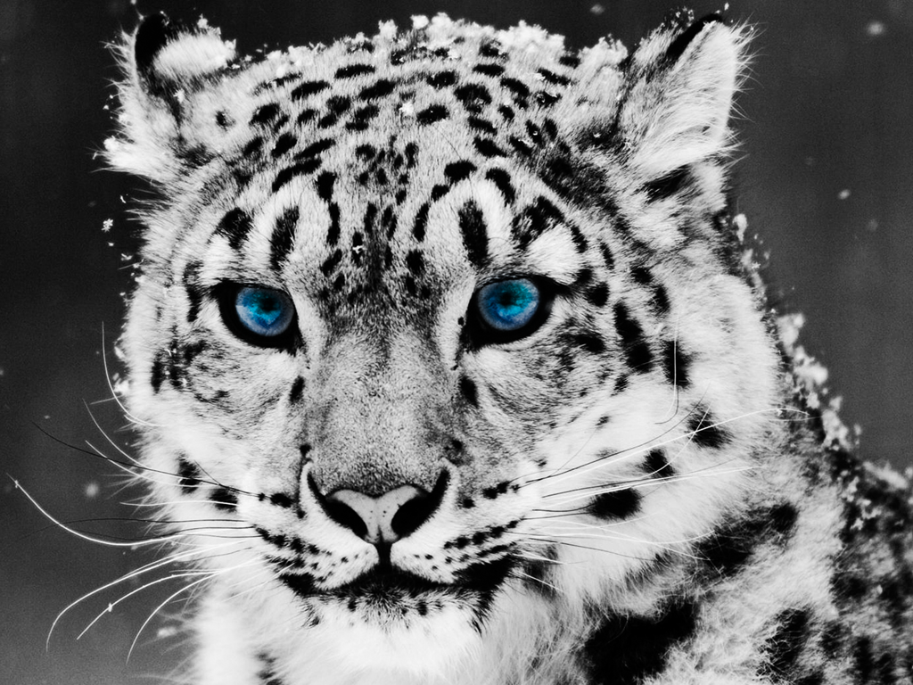 pictures of leopards to print leopard coloring pages getcoloringpagescom pictures of print to leopards