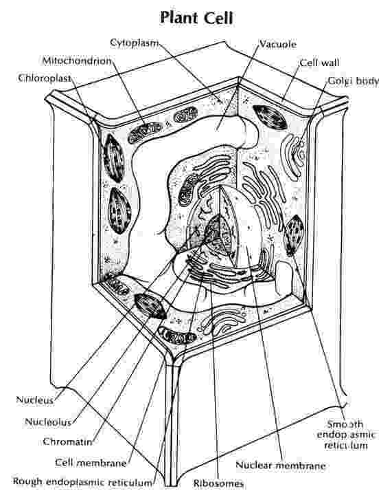 plant cell coloring page mr reynolds science jarrell intermediate school thursday coloring cell page plant