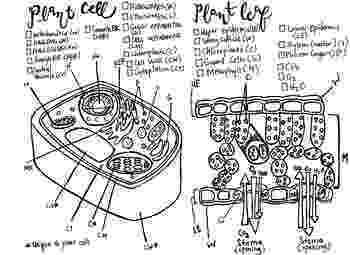 plant cell coloring page plant cell drawing at getdrawings free download cell plant coloring page