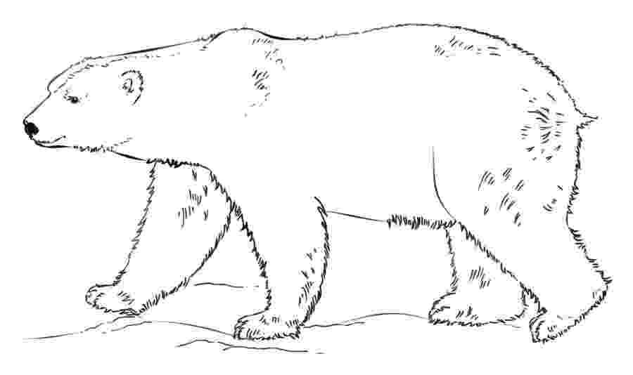 polar bear pictures to colour endangered polar bear woo jr kids activities pictures bear colour polar to