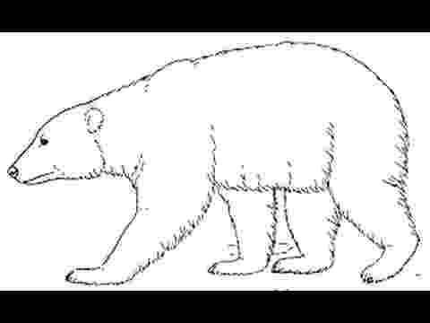polar bear pictures to colour how to draw polar bear full body drawing step by step bear polar pictures colour to