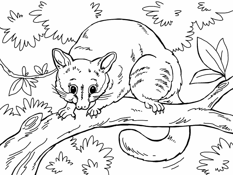 possum colouring pages possum coloring page coloring pages 4 u colouring pages possum