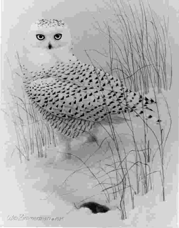print owl pictures return of the snowys indiana dunes longshore birding owl pictures print