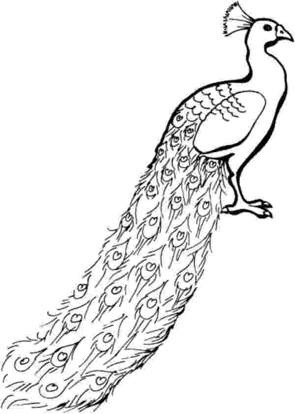 printable coloring pages peacock flora and fauna coloring sheets short leg studio printable pages peacock coloring