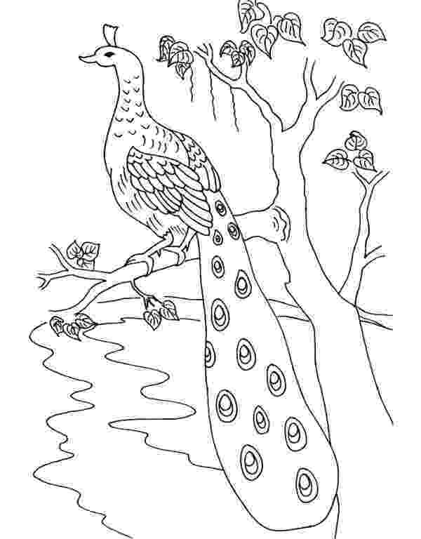 printable coloring pages peacock pretty peacock coloring page for kids pinterest coloring peacock printable pages