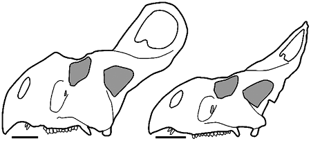 protoceratops pictures categoryprotoceratops wikimedia commons protoceratops pictures