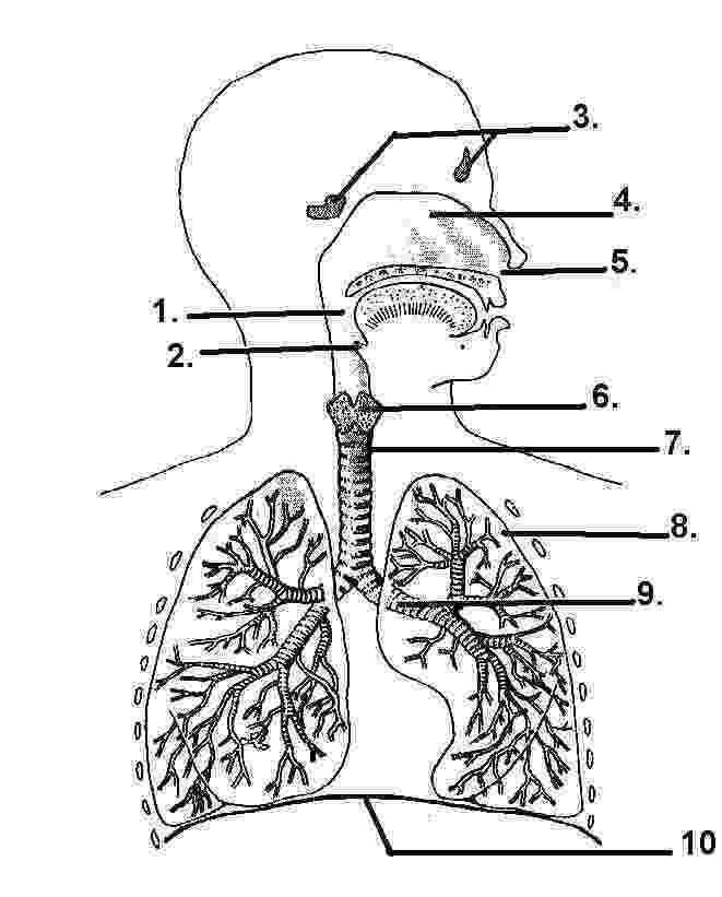 respiratory system coloring sheet respiratory system coloring page coloring home coloring system respiratory sheet