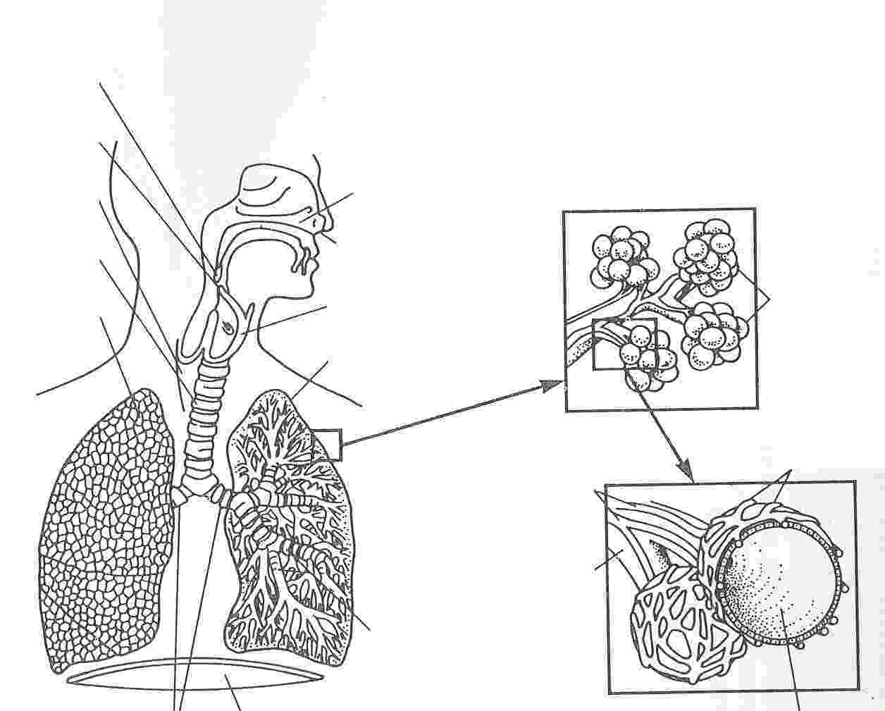 respiratory system coloring sheet respiratory system coloring page coloring home respiratory sheet coloring system