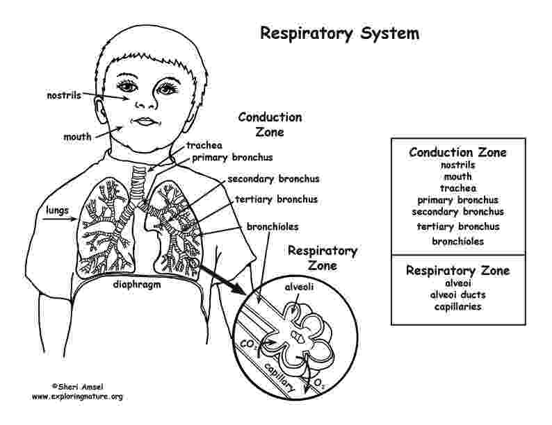 respiratory system coloring sheet respiratory system coloring page middlehigh school respiratory system sheet coloring