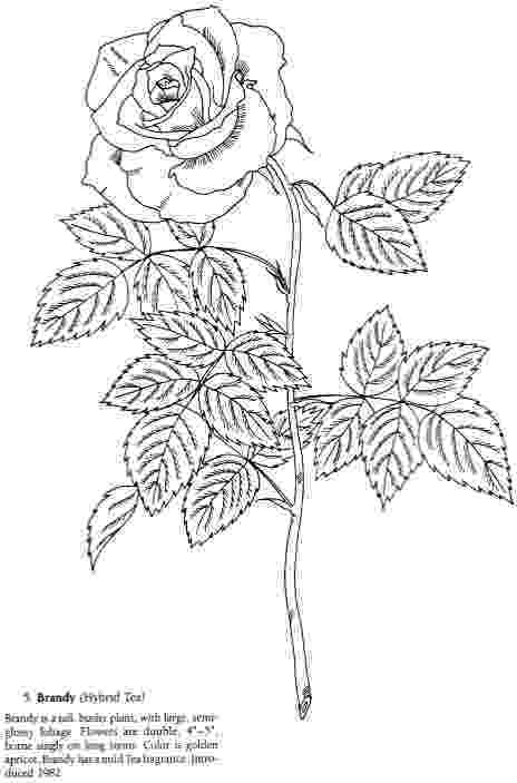 rose coloring pages for adults roses coloring pages getcoloringpagescom coloring adults rose for pages